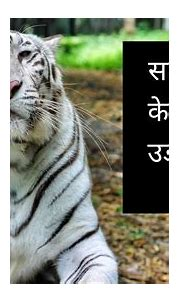 Top 10 Amazing Facts About White Tiger in Hindi | Gaurav ...