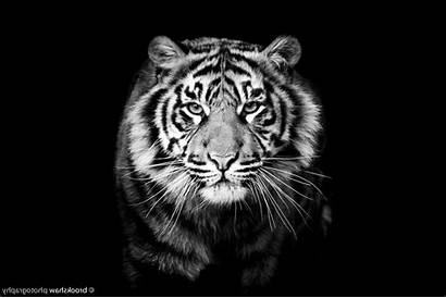 Tiger Animals Monochrome Wallpapers Wallup Desktop Backgrounds