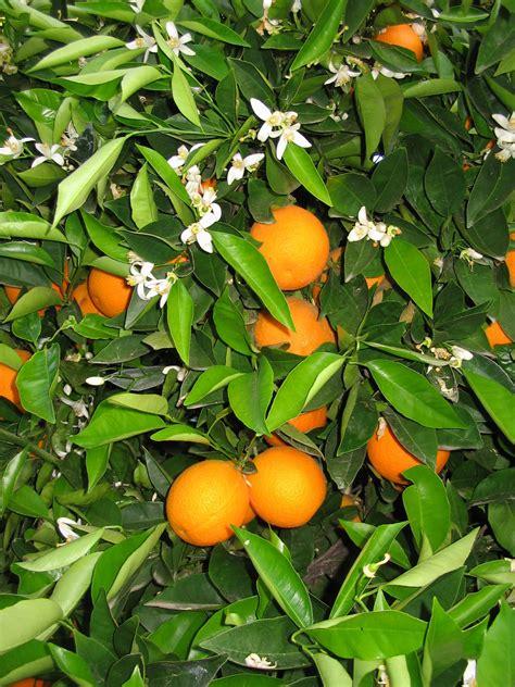 citrus sinensis washington sloat garden center