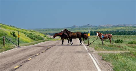 montana wild horses road central roadblock ran traffic bit through into