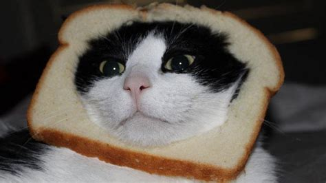 Image 243045 Cat Breading Know Your Meme