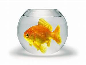Goldfish in Small Bowl stock image. Image of size, fish ...