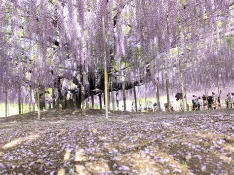 tokyo flower spring japan wisteria park ashikaga festivals flowers festival garden gardens things talk blossoms blossom