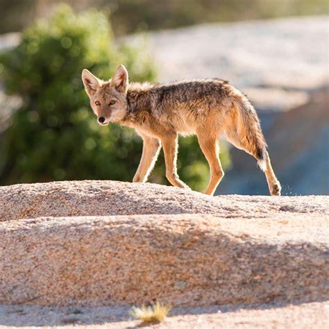 Animals Joshua Tree National Park (U S National Park