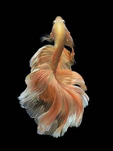 Siamese Fighting Fish, on 500px.com | Critters | Pinterest ...