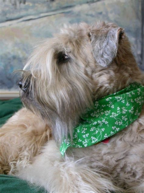 533 best images about soft coated wheaten terrier on