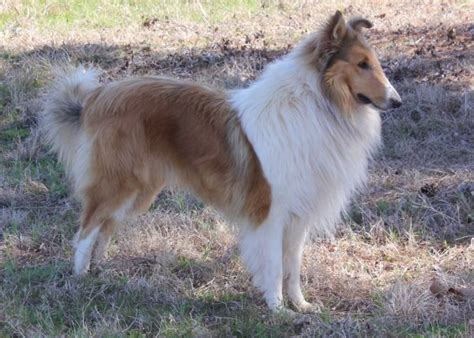P O Gallery Old Time Scotch Collieociation