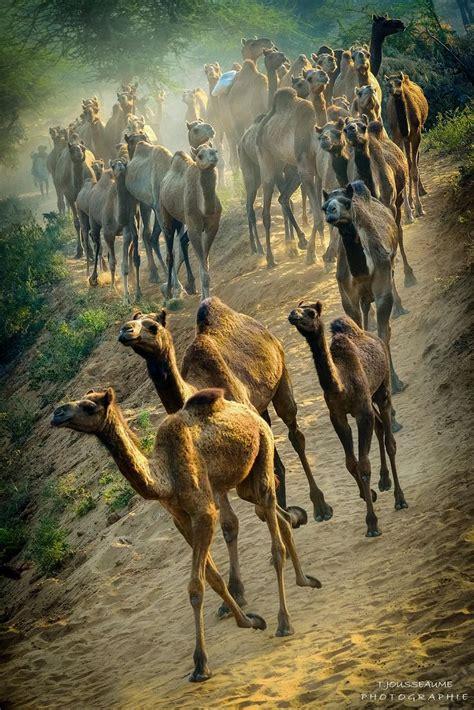 Die Besten 25+ Kamel Ideen Auf Pinterest Kamele