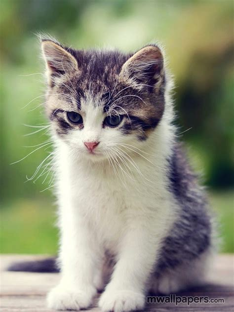 kitty  hd photoswallpapers  android