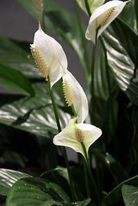 Best plants for bathrooms popsugar home australia for Peace lily in bathroom