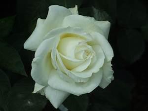 Farbe Weiß Streichen : die farben der rose was bedeutet meine lieblingsfarbe rosenenergie ~ Frokenaadalensverden.com Haus und Dekorationen