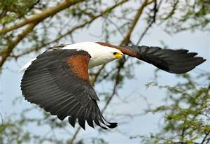 Malawi - Fish Eagles