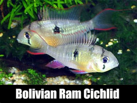 bolivian ram cichlid fish keeping