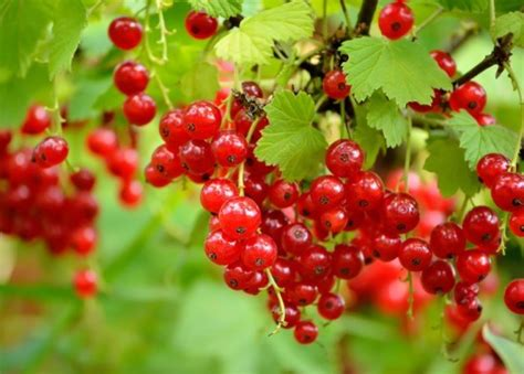 For Perennial Fruit Gardens, Berries Are the Way to Grow ...