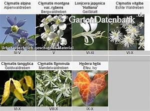 Clematis Für Schatten : schattenpflanzen kletterpflanzen f r schattige g rten ~ Frokenaadalensverden.com Haus und Dekorationen