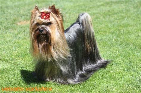 Biro Yorkshire Terrier Züchter