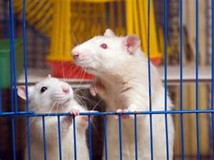 Wie Vertreibt Man Ratten : wissen ber haustiere wie sollte man ratten halten ~ Eleganceandgraceweddings.com Haus und Dekorationen