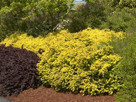 Sunsation Japanese Barberry  Plant Library Pahl's