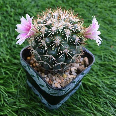 Moning😊 #cactus #แคคตัส #กระบองเพชร
