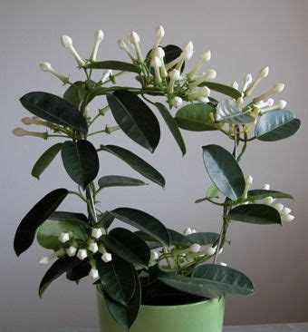Fragrant Indoor Plant Stephanotis Floribunda Living