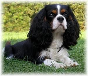 Tri-color cavalier   ~ Cavalier King Charles/Annie ...