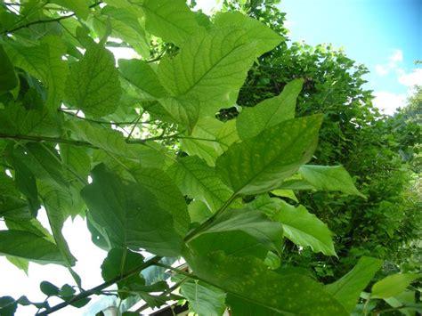 kleiner Baum mit großen Blättern > Populus wilsonii (?