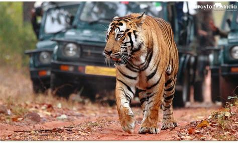 india tigers tiger spot places ranthambore waytoindia indian national park wildlife