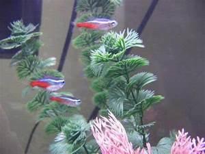 Aquarium Lore Neon Tetra