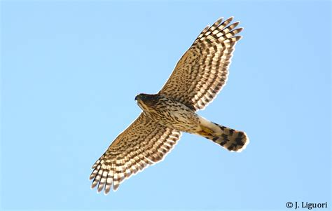 raptor identification and photography throat patches on