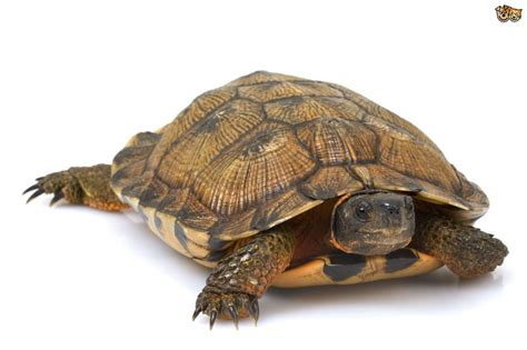 Images Of Turtles Turtles That Live On Land Pets4homes