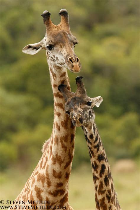 lion giraffe leopard elephant zebra ostrich antelope