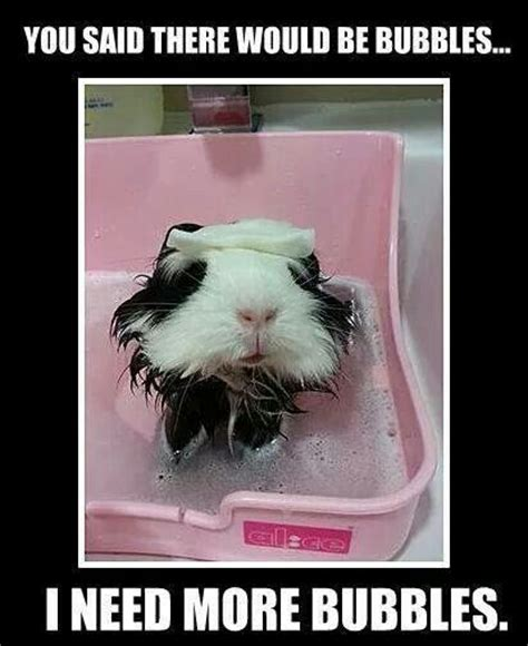 Bubble Bath Meme - 17 best images about guinea pig meme board on pinterest easter presents be calm and households