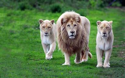 Lion Nature Animals Wildlife Wallpapers Dog Px