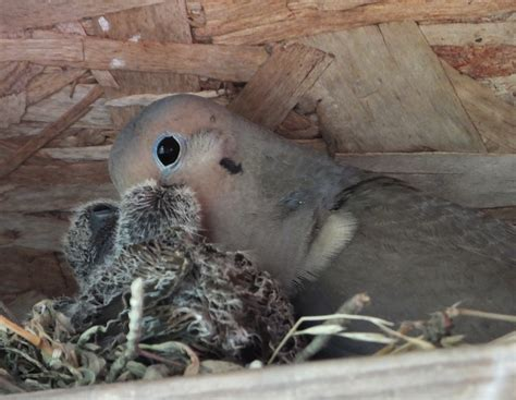 mourning dove feeding squabs the life of your time