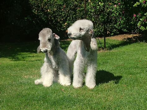 Dogs That Dont Shed Uk bedlington terrier breed and photos and videos list of
