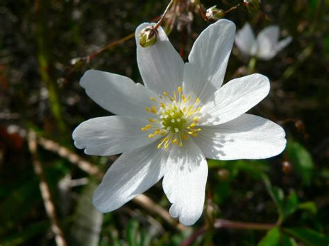 anemone pasque hepatica  buttercup flowers young