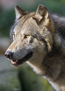 Wolf Profile Mouth Open