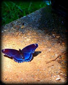 Iridescent Blue Butterflies