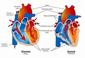 File Human Healthy Pumping Heart En Svg