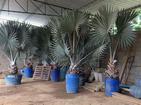 Comprar Palmeira Azul ( Palmeira Bismarckia Nobilis ...