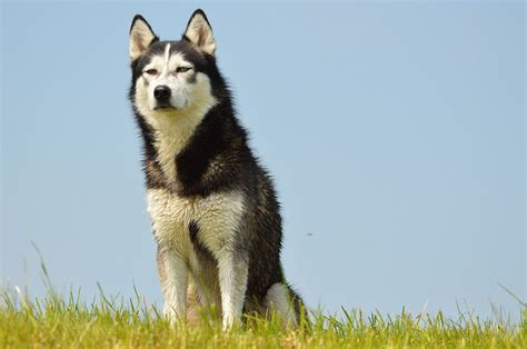 huskies  fun facts