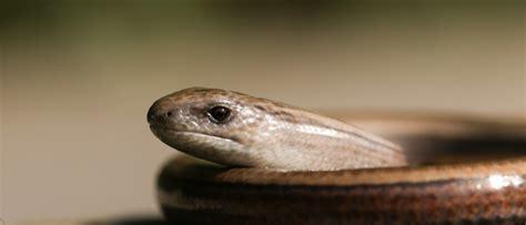 Slow Worm Animal Facts   Anguis fragilis   AZ Animals