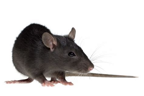 rat cuisine rat information for rodent facts for students