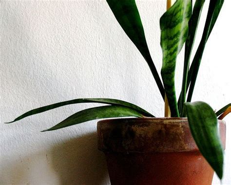 Snake Plant Benefits Snake Plant Benefits Air Quality Testing Experts