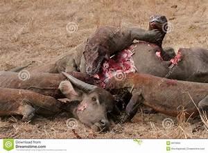 Komodo Dragons Eating Wild Buffalo Stock Photo - Image ...