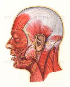 Muscle Facial Nerve Anatomy
