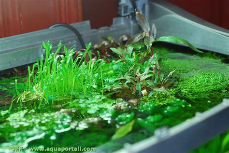 floraison de plantes en surface dans 130 litres flore aquatique plantes et algues d eau douce