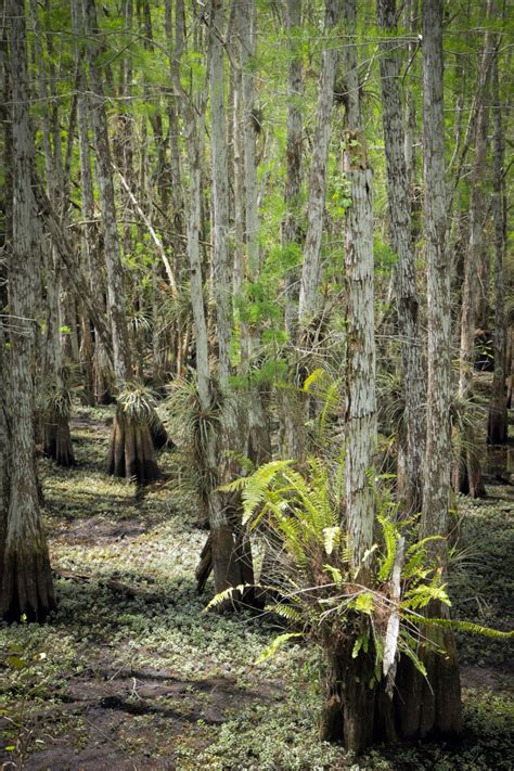 hiking dwarf cypress forest  everglades national park