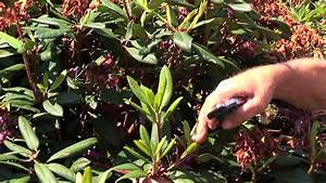 Rhododendron Blüten Schneiden : rhododendren und azaleen schneiden und pflegen youtube ~ A.2002-acura-tl-radio.info Haus und Dekorationen