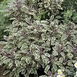 La Sauge Plante : sauge officinale planter et tailler ooreka ~ Melissatoandfro.com Idées de Décoration
